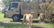 From Johannesburg: Lion & Safari Park Half-Day Tour