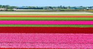 Half Day Tour to Keukenhof Flower Fields with Live Guide...