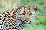One Night Leopard Tour of Kruger National Park from Nelspruit