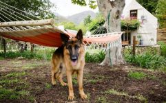 german-shepherd-under-hammock