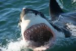 Shark Cage Diving Tour in Gansbaai with Private Transfers from...